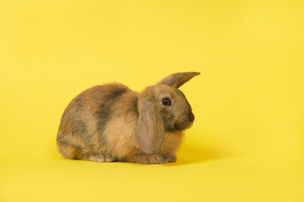 Cute rabbit on a yellow background