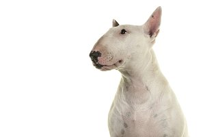 Bull terrier looking away