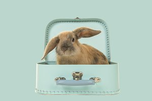 Cute young rabbit in a blue suitcase