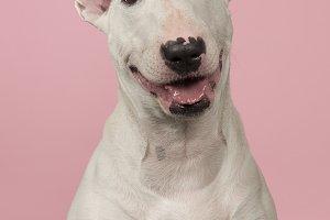 Bull terrier portrait on pink