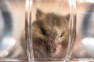 Hamster peeking