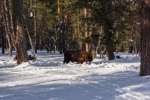 European bison in the winter forest.
