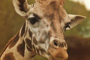Giraffe pose II