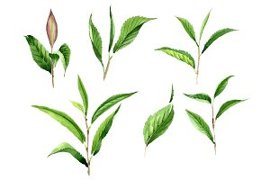 Tea leaf PNG watercolor set