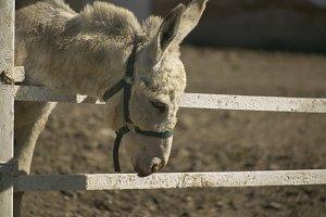 donkey in breeding