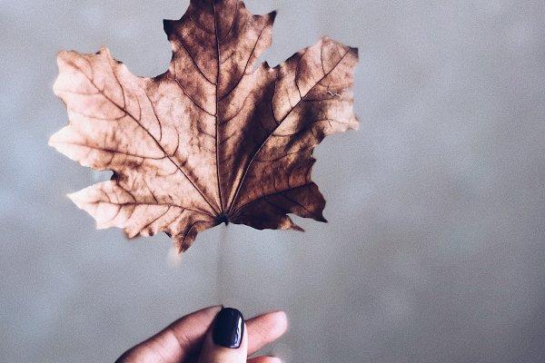 Dry autumn maple leaf