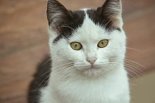 Closeup of a white kitten with black by  in Animals