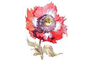 Big red poppy flower PNG watercolor