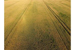 Ripening wheat. Green unripe wheat