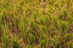 After harvesting rice left in the