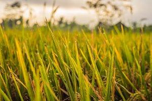Beautiful dew drop on ripe rice leaf