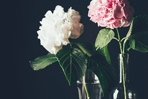 pink and white hortensia flowers in