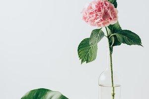 pink hydrangea flower in vase and gr