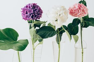 blooming hydrangea flowers and monst