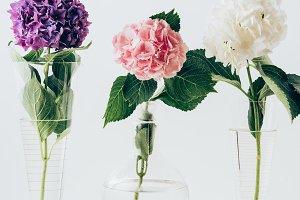 blooming flowers of hydrangea in vas