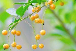 Yellow Berries 1