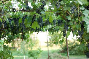 Fresh Growing grapes