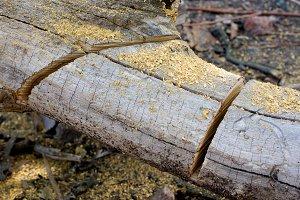 Sawn tree - closeup