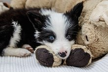 Cachorro de border collie by  in Animals