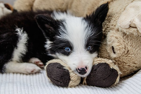 Animal Stock Photos: Leyre Núñez Art & Photo - Cachorro de border collie