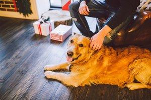 adult dog a golden retriever,abrador