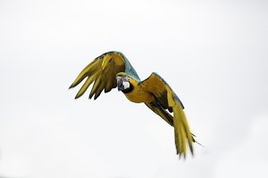 Colorful parrot, Ara Macaw