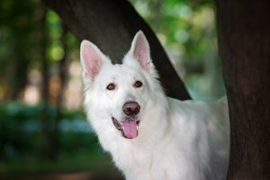 White Swiss Shepherd Portrait