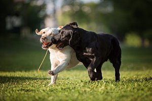 Two Labradors Running with a Toy