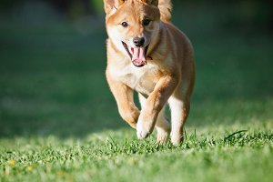 Shibainu Puppy Running