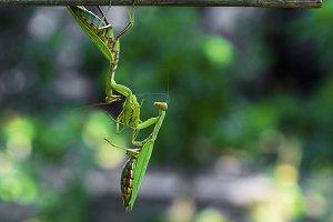 two big  green praying mantis