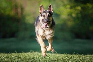 East-European Shepherd Running