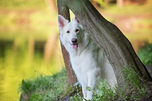 White Swiss Shepherd Sitting