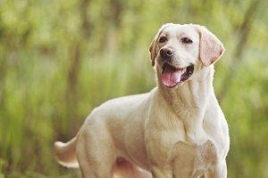 Labrador Standing