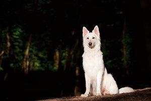 White Swiss Shepherd Sitting
