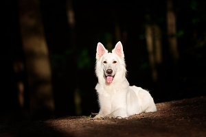 White Swiss Shepherd Lying