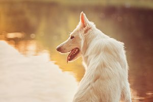 White Swiss Shepherd On the Lake