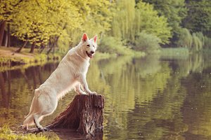 White Swiss Shepherd Standing