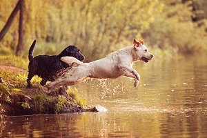 Two Labradors Jumping Into the Water