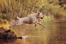 Labrador Jumping Into the Water