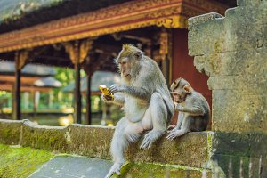 Monkeys in Ubud Monkey Forest, Bali