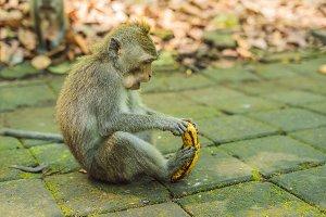 Monkeys in Ubud Monkey Forest, Bali