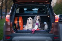 Two elegant Afghan hounds in the car by  in Animals