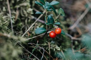 Ripe berries of wild cowberry