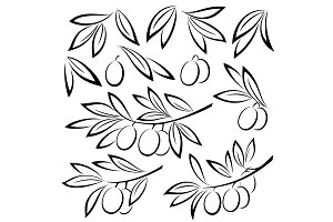 Olive Branches Leaves and Berries