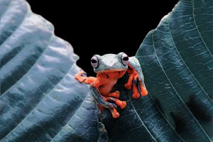 tree frogs on the leaves