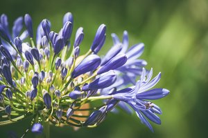 Blue flowers of African lily