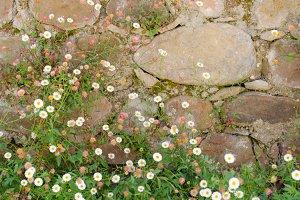 Stone wall and small daisies (fleaba