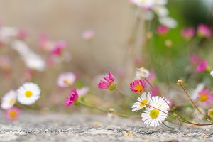 Fleabanes (small daisies)