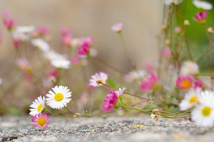 Fleabanes (small daisies).