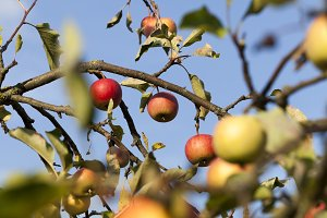 ripe whist apples